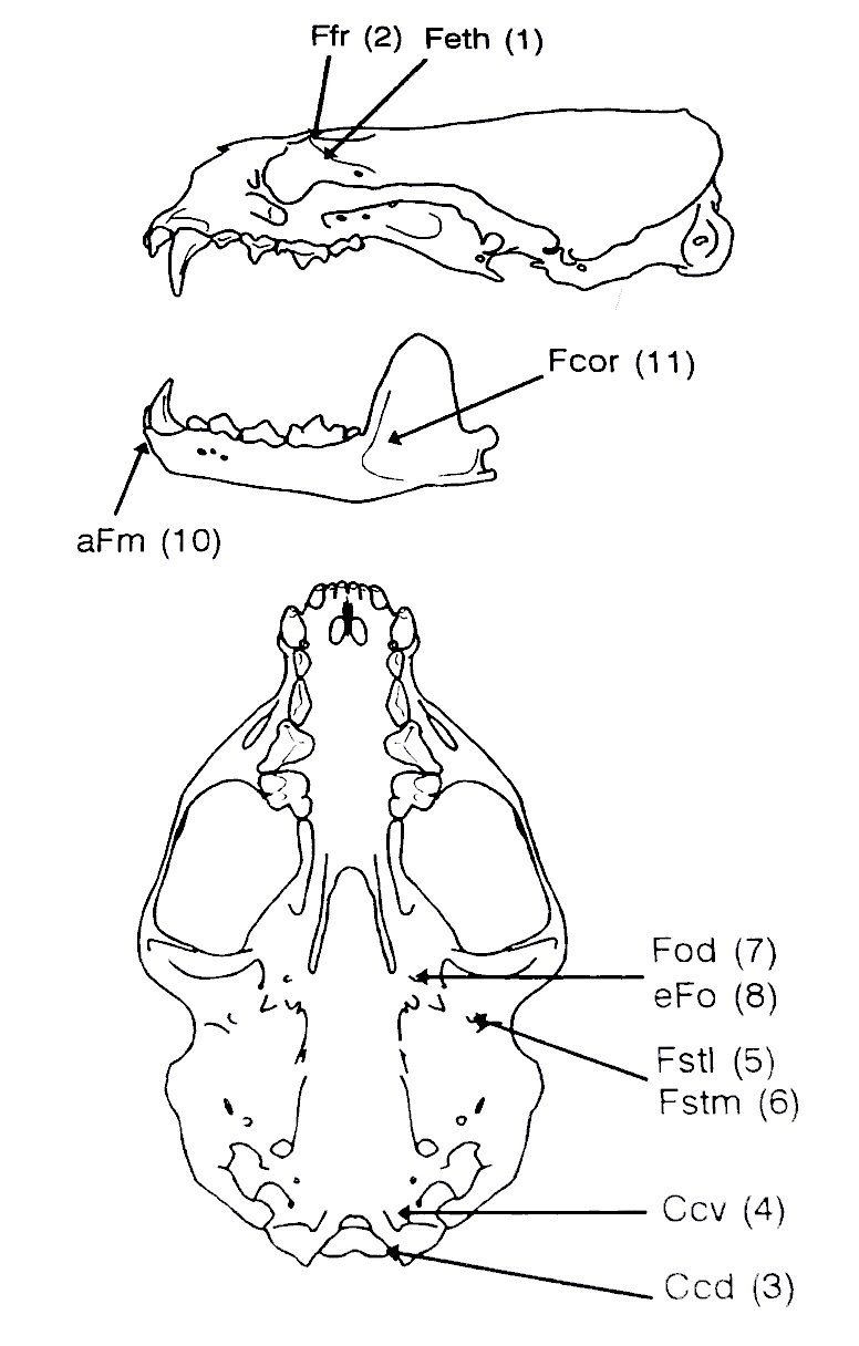 ansorge  h  and stubbe  m   1995  nonmetric skull divergence in the otter